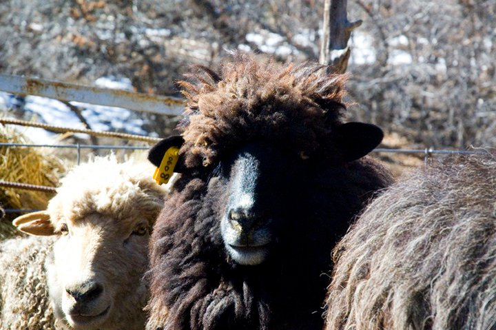Churro Sheep produce excellant wool for weaving
